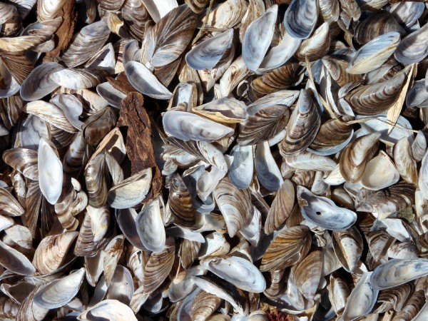 Zebra_mussels_washed_ashore_on_Lake_Winnebago.jpg