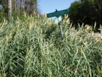 Phragmites_in_summer.jpg